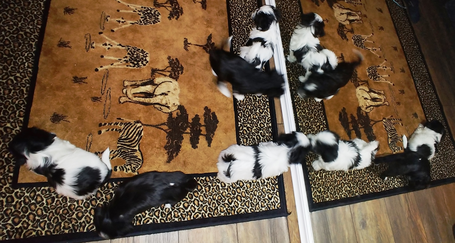 Puppies at 6 weeks (4)
