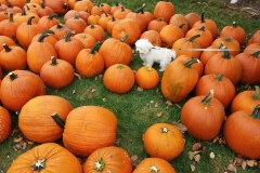 Pula and the Pumkins 1