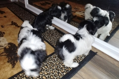 Puppies at 6 weeks (2)