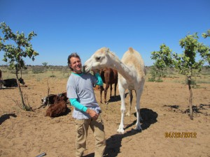 Albino camels on the ranch greet John