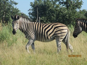 Our guide said all Zebra's have brown stripes too