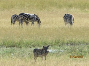 Warthogs and Zebra's