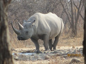 An awesome white rhino!