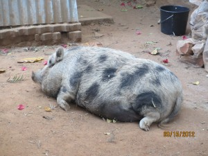 We shared the hostel with this big fat pig that roamed the ground the whole time.