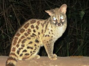 A Genet Cat visits the dinner table at every meal