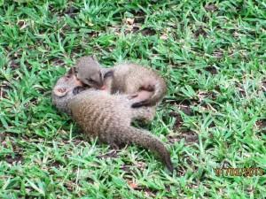 Two baby Bandit Mongooses (Mongeese?)