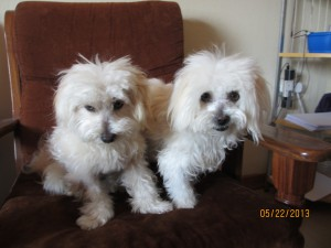 After the groomer they are clean and cute with their precision hair cut.